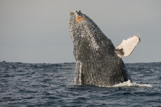 pete-oxford-humpback-whale-sardine-run-eastern-cape-south-africa