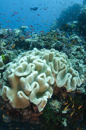 pete-oxford-leather-coral-alcyonacea-fiji-coral-reef-diversity