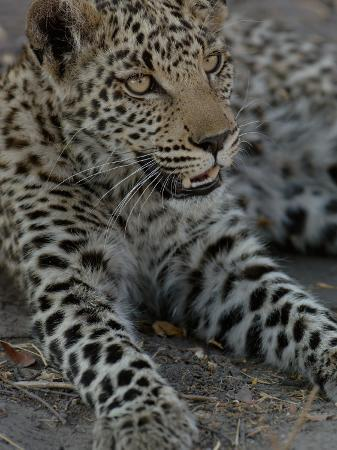 pete-oxford-leopard-female-cub-savuti-channal-linyanti-area-botswana