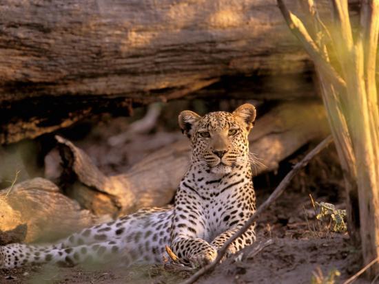 pete-oxford-leopard-okavango-delta-botswana