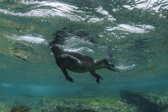 pete-oxford-marine-iguana-underwater-fernandina-island-galapagos-ecuador