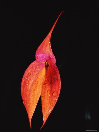 pete-oxford-masdevallia-orchid-flower-machu-picchu-peru-sth-america