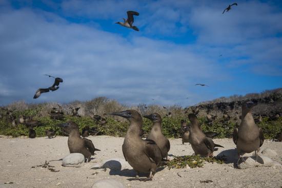 pete-oxford-red-footed-booby-juvenile-galapagos-islands-ecuador