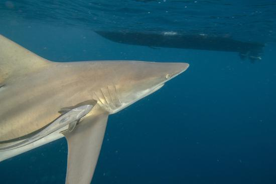pete-oxford-shark-and-remora-shark-dive-umkomaas-kwazulu-natal-south-africa