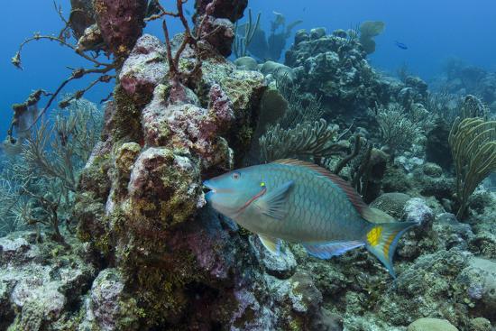 pete-oxford-stoplight-parrotfish-hol-chan-marine-reserve-belize
