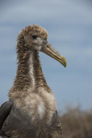 pete-oxford-waved-albatross-juvenile-espanola-island-galapagos-islands-ecuador