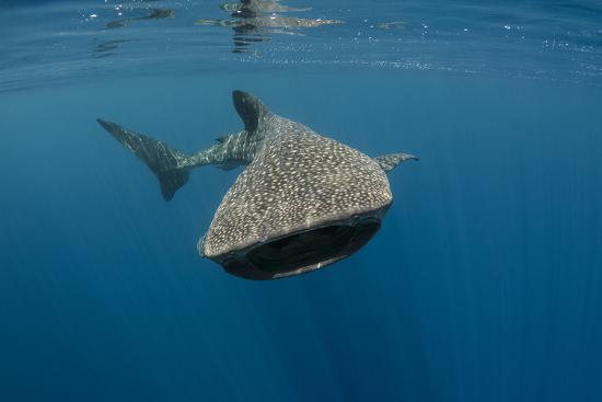 pete-oxford-whale-shark-cenderawasih-bay-west-papua-indonesia