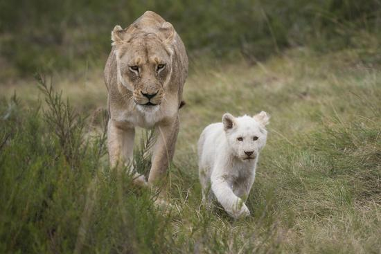 pete-oxford-white-lion-inkwenkwezi-game-reserve-eastern-cape-south-africa