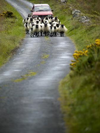 pete-ryan-in-irish-shepherd-herds-his-flock-of-sheep-clare-island-county-mayo-ireland