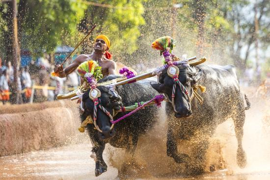 peter-adams-kambala-traditional-buffalo-racing-kerala-india