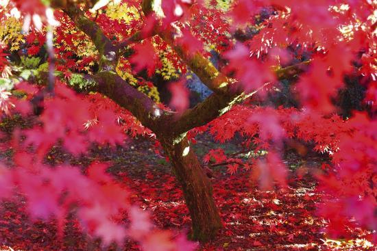 peter-adams-radiant-maple