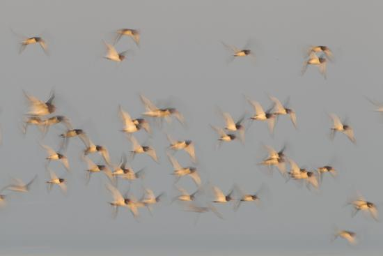 peter-cairns-flock-of-oystercatchers-haematopus-ostralegus-in-flight-the-wash-estuary-norfolk-england-uk