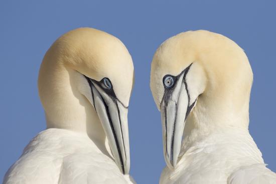 peter-cairns-pair-of-gannets-morus-bassanus-mutual-preening-bass-rock-firth-of-forth-scotland-uk-june