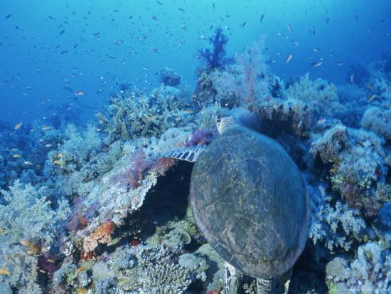 peter-carsten-a-turtle-swims-over-the-coral-reefs-with-marine-life-in-the-red-sea