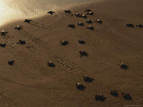 peter-carsten-freshly-hatched-leatherback-sea-turtles-en-route-to-the-sea