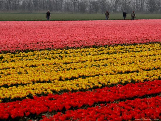 peter-dejong-workers-amidst-fields-of-tulips-and-daffodils-near-sint-maartensvlotbrug-netherlands