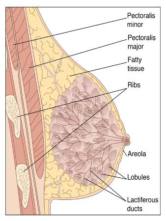 peter-gardiner-breast-anatomy-artwork