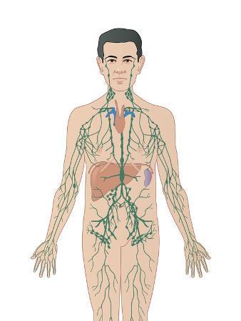 peter-gardiner-lymphatic-system-artwork