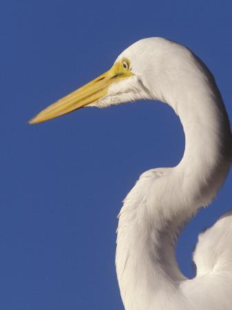 peter-hawkins-great-egret-ft-myers-beach-florida