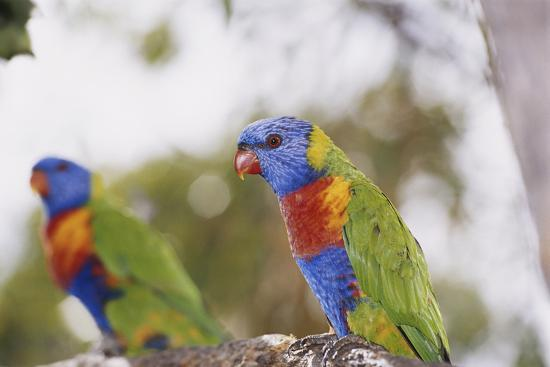 peter-skinner-australia-east-coast-rainbow-lorikeets
