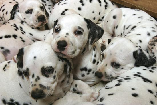 peter-thompson-dalmatian-puppies