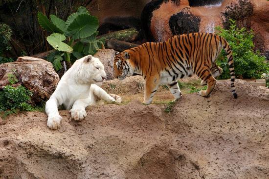 peter-thompson-tigers-loro-parque-tenerife-canary-islands-2007