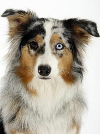 petra-wegner-blue-merle-australian-shepherd-portrait-with-odd-eyes