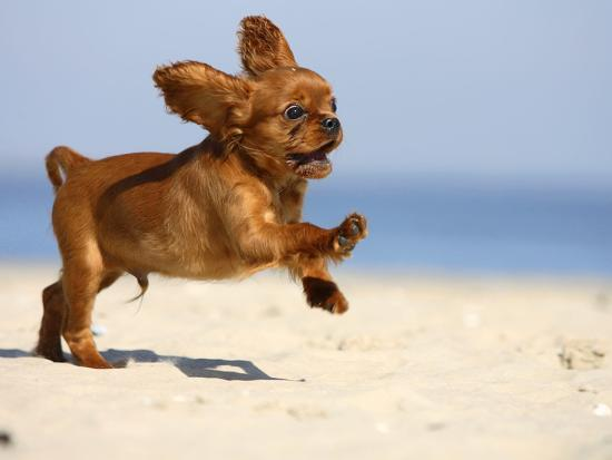 petra-wegner-cavalier-king-charles-spaniel-puppy-14-weeks-ruby-running-on-beach-jumping-ears-flapping