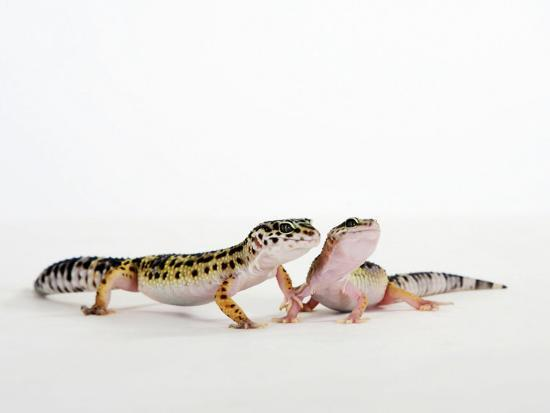 petra-wegner-pair-of-leopard-geckos