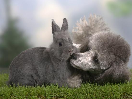 petra-wegner-silver-miniature-poodle-sniffing-a-blue-dwarf-rabbit