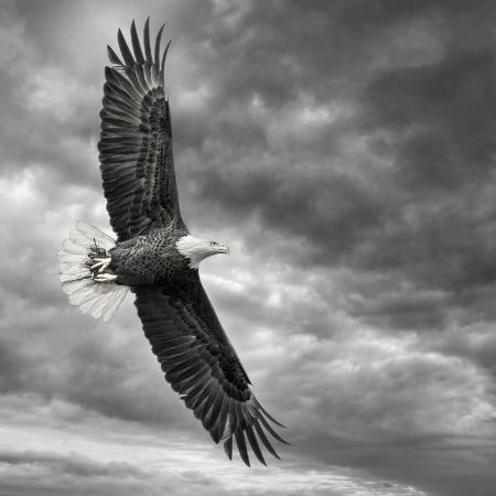 phburchett-eagle-in-flight