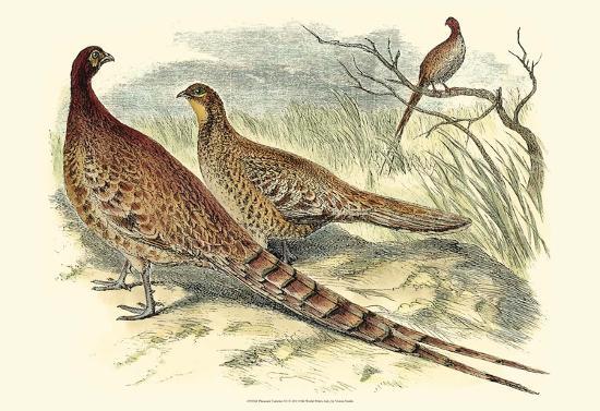 pheasant-varieties-vi