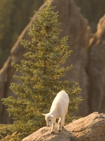 phil-schermeister-baby-mountain-goat-stands-on-rock-formations-in-custer-state-park