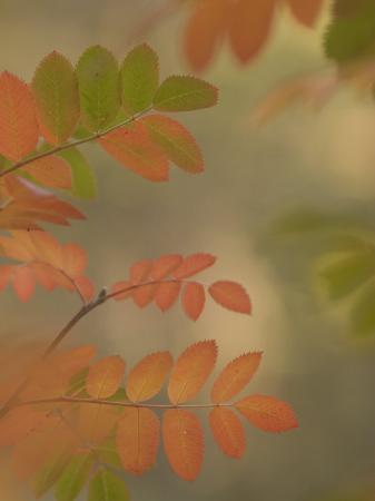 phil-schermeister-colorful-sumac-leaves-in-fall-in-the-stanislaus-national-forest