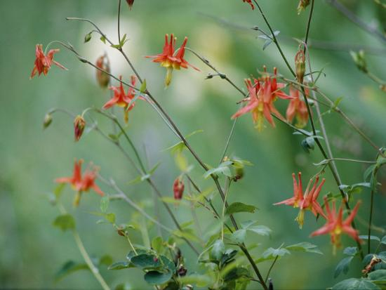phil-schermeister-crimson-columbines-above-the-columbia-river-gorge