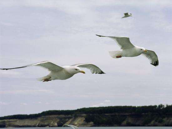 phil-schermeister-herring-gulls-in-flight