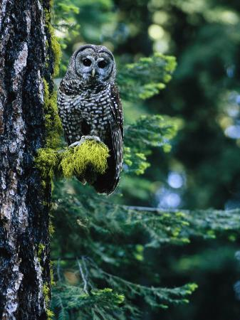 phil-schermeister-spotted-owl-perched-on-a-mossy-tree-branch