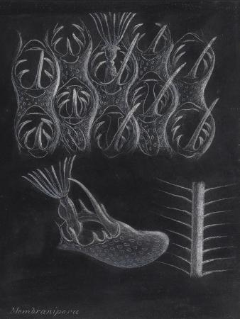 philip-henry-gosse-bryozoa
