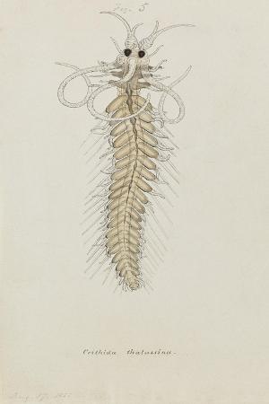 philip-henry-gosse-crithida-thalassina-marine-worm
