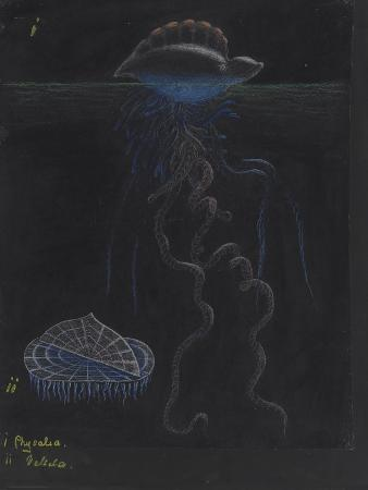 philip-henry-gosse-portugese-man-of-war-by-the-wind-sailor-jellyfish