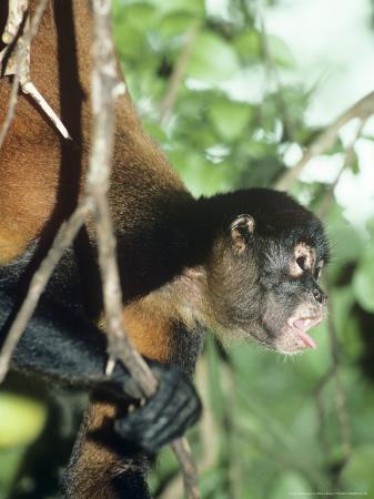 philip-j-devries-spider-monkey-male-panama