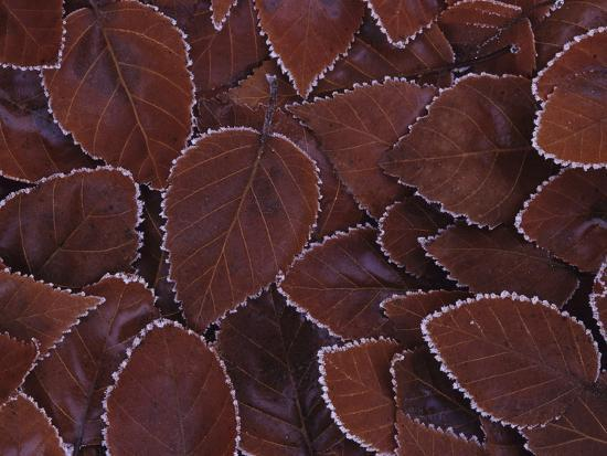 philip-james-corwin-frost-edged-leaves