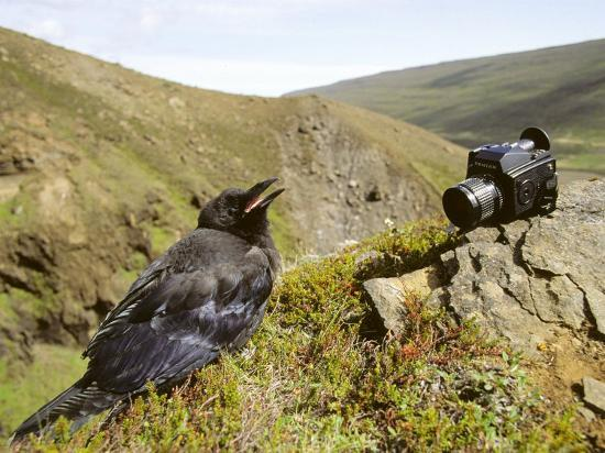 philippe-henry-common-raven-and-camera-iceland