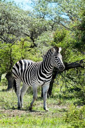 philippe-hugonnard-awesome-south-africa-collection-burchell-s-zebra-iii