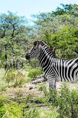 philippe-hugonnard-awesome-south-africa-collection-burchell-s-zebra-vi