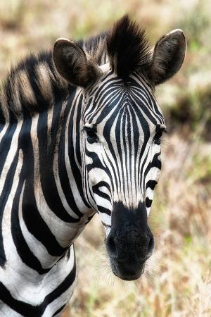 philippe-hugonnard-awesome-south-africa-collection-burchell-s-zebra-xii