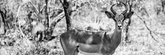 philippe-hugonnard-awesome-south-africa-collection-panoramic-impala-portrait-b-w