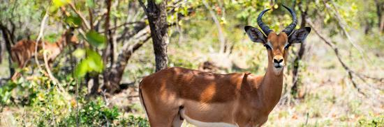 philippe-hugonnard-awesome-south-africa-collection-panoramic-impala-portrait