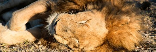 philippe-hugonnard-awesome-south-africa-collection-panoramic-lion-sleeping-at-sunset