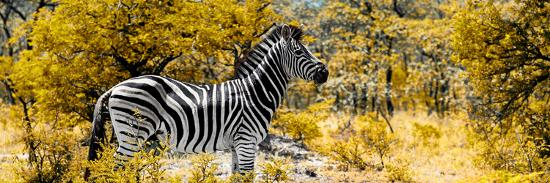 philippe-hugonnard-awesome-south-africa-collection-panoramic-zebra-profile-with-yellow-savanna